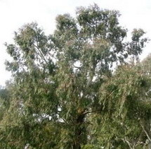 eucaliptus.jpg
